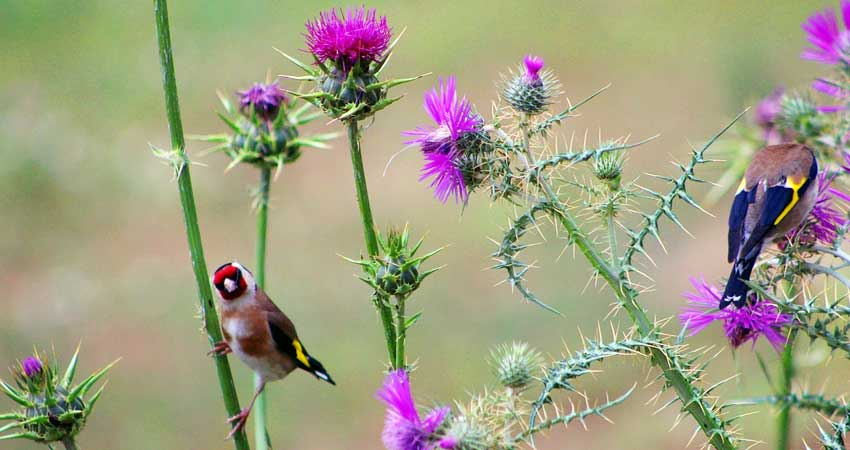 Cardellini che mangiano semi di cardo immaturi direttamente dai fiori