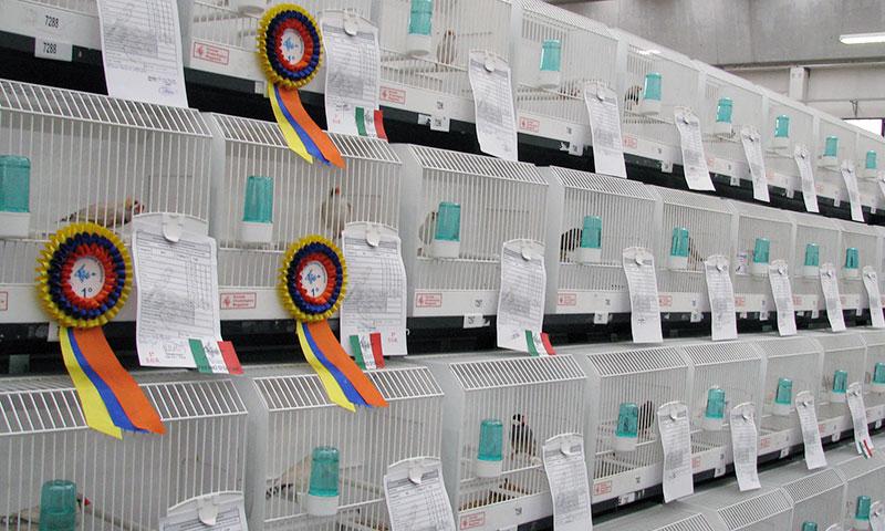 Gabbie da esposzione per uccelli, utilizzate durante le mostre ornitologiche