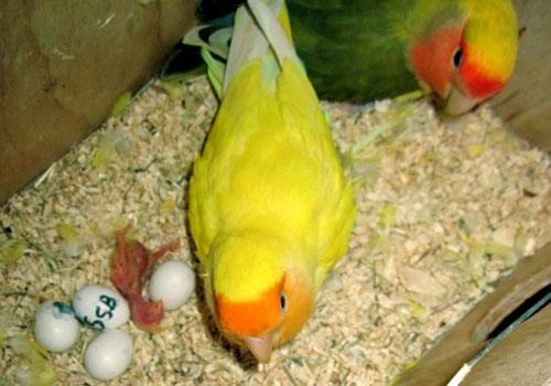 Coppia di fischer nel nido con uova ed un pullus, il primo nato. Foto Ivana Coniglione
