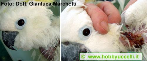 L'autodeplumazione, Cacatua sulphurea. Il pappagallo in questione, a seguito dell'arrivo in casa di un cane, ed in conseguenza quindi delle minori attenzioni da parte del proprietario, ha cominciato ad autodeplumarsi petto e collo