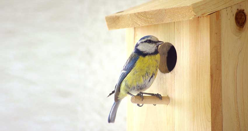 Cinciarella su cassetta nido per il Birdgardening