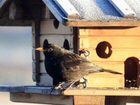 Merlo che mangia da una mangiatoia per uccelli selvatici