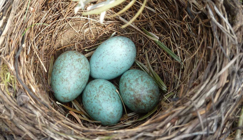 Uova di Merlo nel nido