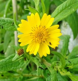 Fiore di Niger