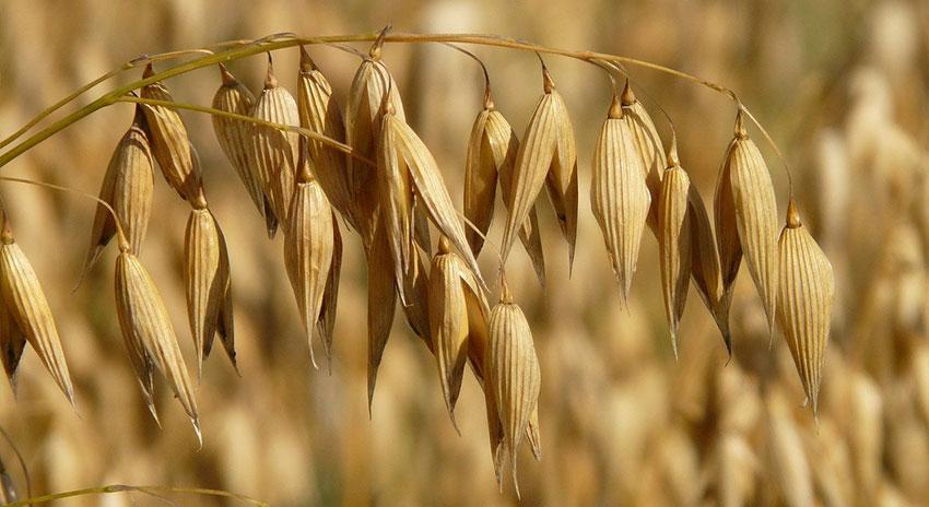 Spiga di Avena che contiene i semi che poi saranno utilizzati per l'alimentazione degli uccelli