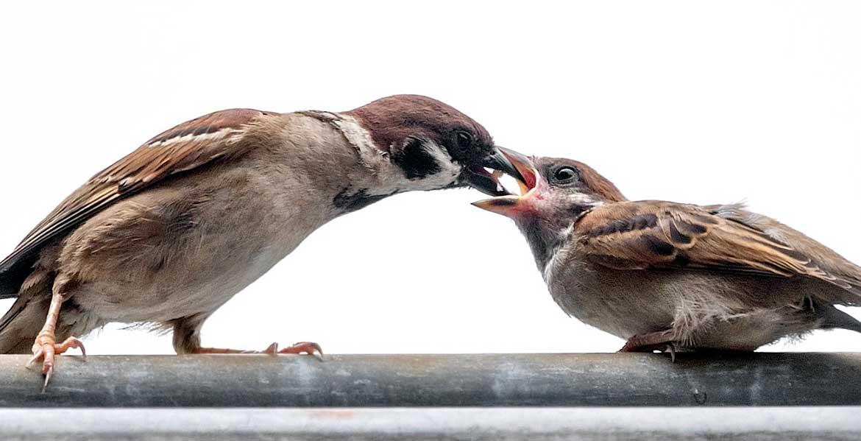 Passero Maschio che alimenta un giovane passero