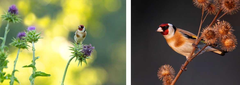 Cardellini che mangiano semi di cardo direttamente dal fiore